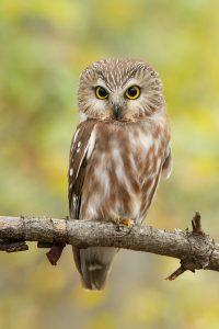 Owls of New England with Bird Diva Bridget Butler